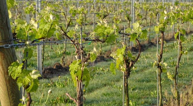 De wijngaard kleurt groen