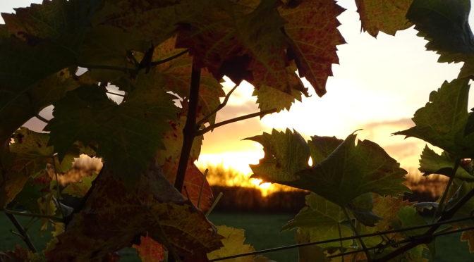 Kom genieten van de herfst in de wijngaard